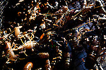 A trap filled with commercially harvested crayfish from Lake Tahoe near Incline Village, Nevada, July 8, 2012.
