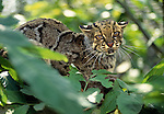 Marbled Cat, Indonesia (controlled conditions)