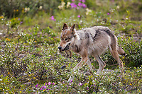 Wolf from the Grant Creek pack takes a full belly of food and an arctic ground squirrel back to feed the pups, Denali National Park, interior, Alaska.