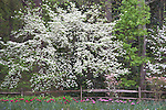 Flowering Dogwood Trees at Azalea Overlook Garden at Callaway Gardens in Pine Mountain, Georgia. Callaway Gardens, which is especially famous for its azaleas, boasts 13,000 acres of gardens and Georgia countryside, plus a conservation nature preserve, extensive education programs, and a very impressive resort as well.