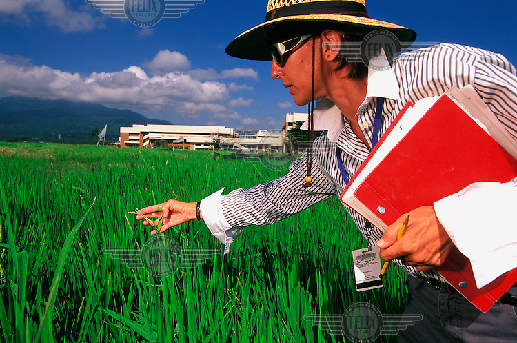©Chris Stowers/Panos Pictures..PHILIPPINES  Los Banos, Luzon 2003..Dr. H. Renee Lafitte, physiologist at IRRI (International Rice Research Institute) doing field work in the test paddies surrounding the IRRI labs and HQ.