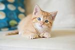 Orange tabby polydactyl Kitten