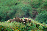 Brown bear sow and cub on knoll, McNeil River Bear Sanctuary, Alaska, USA
