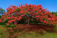 Flamboyant Tree<br /> Caneel Bay Resort<br /> St. John<br /> Virgin Islands National Park