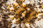 Misool, Raja Ampat, Indonesia; a yellow, white and brown sea cucumber feeding in the current