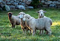 Sheep in a pasture, Martha's Vineyard, Massachusetts, USA