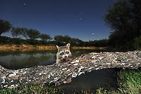 Northern Raccoon (Procyon lotor), adult at night on log, Laredo, Webb County, South Texas, USA