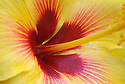 Yellow hibiscus blossom, close-up of center of flower; Maui, Hawaii. .