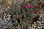 Beavertail cactus in Gorman, California
