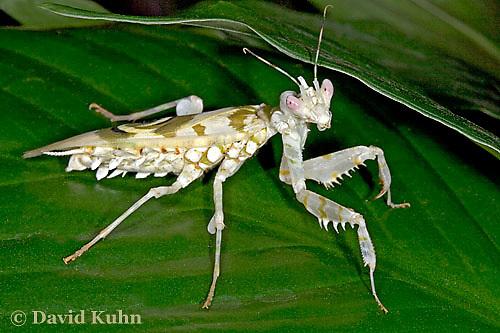 "0223-07oo  Spiny Flower Mantis (#9 Mantis) - Pseudocreobotra wahlbergii ""Female"" - © David Kuhn/Dwight Kuhn Photography"