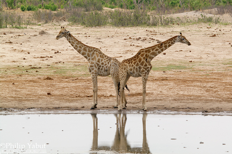 Giraffes are joined at the hip.<br />