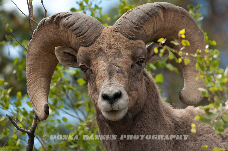Bighorn Ram in newly leafed-out aspen