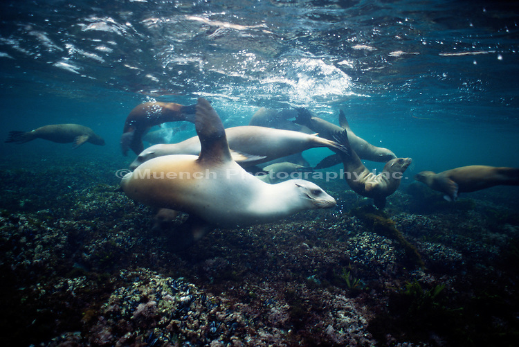 """Seals underwater, Santa Barbara Island Channel Islands NP Santa Barbara CALIFORNIA"""