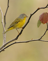 """The Nashville Warbler is closely related to the Orange-crowned Warbler. The two species are similar in size and shape. The western population was once considered a separate species, called the """"Calaveras Warbler."""""""