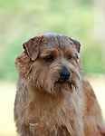 Norfolk Terrier<br /> <br /> <br />  Shopping cart has 3 Tabs:<br /> <br /> 1) Rights-Managed downloads for Commercial Use<br /> <br /> 2) Print sizes from wallet to 20x30<br /> <br /> 3) Merchandise items like T-shirts and refrigerator magnets