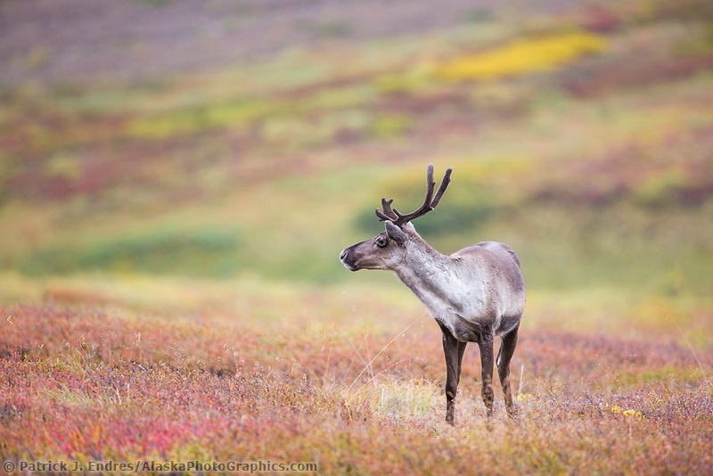 Young bull caribou on the autumn tundra in Highway pass, Denali National Park, Alaska.