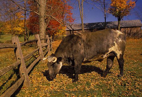 Mixed breed bull grazing near split rail fence