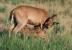 Black-tailed or mule deer fawn nursing, Washington, USA