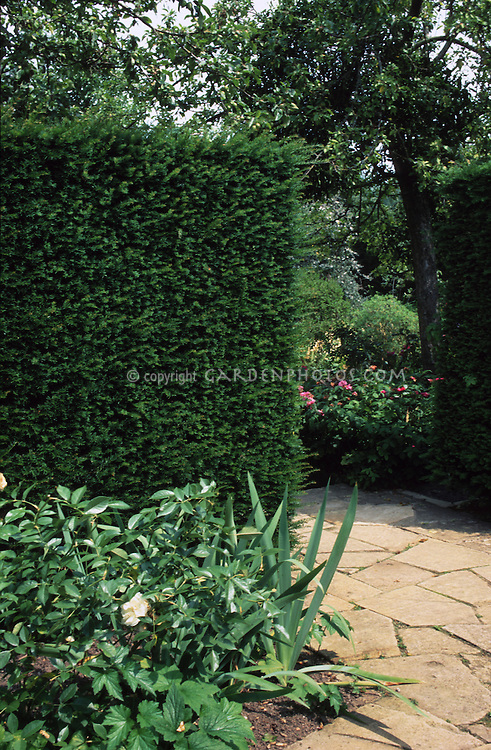 taxus x media 39 hicksii 39 privacy hedge shrub plant. Black Bedroom Furniture Sets. Home Design Ideas