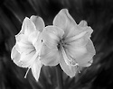 BW02212-00...WASHINGTON - Orchid flower. 4x5 black and white image.