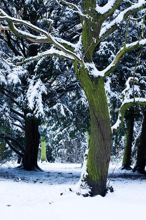 Snowy tree in wood, UK
