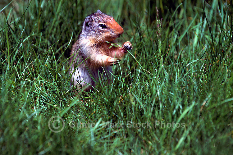 Columbian Ground Squirrel (Spermophilus columbianus) eating Blade of Grass