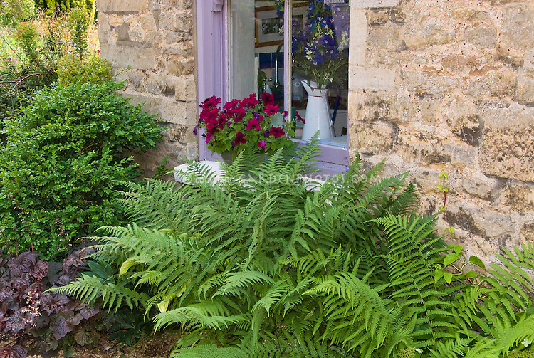Dryopteris fern, Heuchera Palace Purple, Buxus sempervirens and container of petunia next to stone house window for charming garden scene, foundation plantings