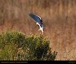 White-Tailed Kite, Bush Landing, Sepulveda Wildlife Refuge, Southern California