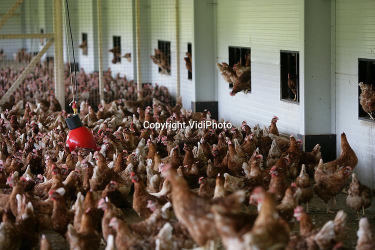 """Foto: VidiPhoto..RANDWIJK - De super-scharrelstal van veehouder Van Manen uit Randwijk. De diervriendelijke kippenstal krijgt woensdag het """"Beter Leven""""-kenmerk van de Dierenbescherming. Het bijbehorende """"scharrelei-nieuw-stijl"""" krijgt drie sterren; het hoogst haalbare op het gebied van dierenwelzijn, en zal voorlopig alleen door Super de Boer verkocht worden. De stal is zodanig ingericht dat het dierenwelzijn voorop staat. Zo hebben de kippen onder meer voldoende ruimte en afleiding om te voorkomen dat ze elkaar in de veren vliegen."""