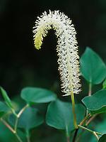 Lizard's Tail, Saururus cernuus , blossom, Everglades National Park, Florida, USA