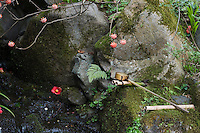 A bamboo ladle rests on the rocks by the stream with red and white Edgeworthia chrysantha (Paper Bush) blossoms hanging above it