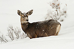 Mule Deer Doe in Deep Snow