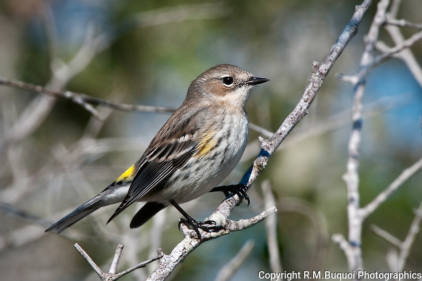 Yellow-rumped Warbler (Myrtle Warbler)