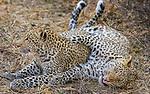 Leopards, Mashatu Reserve, Botswana