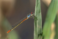 337850025 a wild male painted damsel hesperagrion heterodoxum perches on a grass stem on the membis river near royal john mine road grant county new mexico united states..GPS:N 32.73066.         W -107.86653