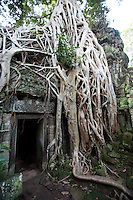 "Unlike most Angkori temples, Ta Prohm has been left in similar conditions in which it was found - the atmospheric combination of trees growing out of the ruins and the jungle surroundings have made it one of Angkor's most popular temples with visitors.  This scene was used in the movie ""Indiana Jones & the Tomb Raiders"""