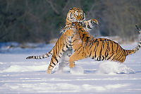 Siberian tigers or Amur Tigers (Panthera tigris altaica) fighting, Endangered Species