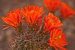Blooming claretcup cactus (Echinocereus triglochidiatus) in the Desert Botanical Garden
