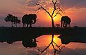 Chobe National Park, Botswana --- Savuti Elephants at Sunset --- Image by © Theo Allofs/CORBIS