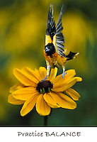 Northern Baltimore Oriole balancing on black-eyed susan in mid-flight