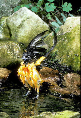 Oriole bathing in garden pool