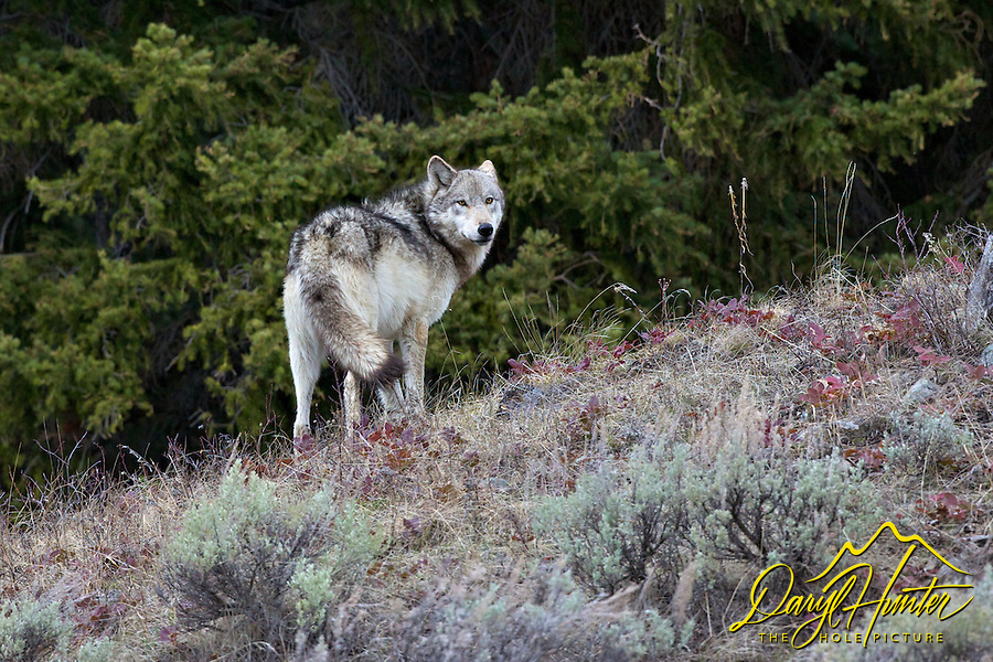 Wolf, #820,  Lamar Pack, Yellowstone National Park, endangered species, controversy, yellowstone wolves,