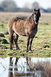 Konik Horse, Kent UK, standing by water, direct descendants of the Tarpan, a wild horse which was hunted to extinction, Koniks is Polish word for wild horse, winter coat, pony, introduced into wetland areas to help graze and keep reedbeds managed for conservation