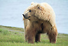 Alaskan Brown Bear at Silver Salmon Creek, Lake Clark National Park, Alaska