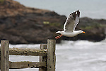 gull taking flight at Bean Hollow State Beach