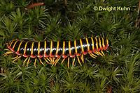 1Y15-530z Millipede, Apheloria virginiensis corrugata,  SW Virginia