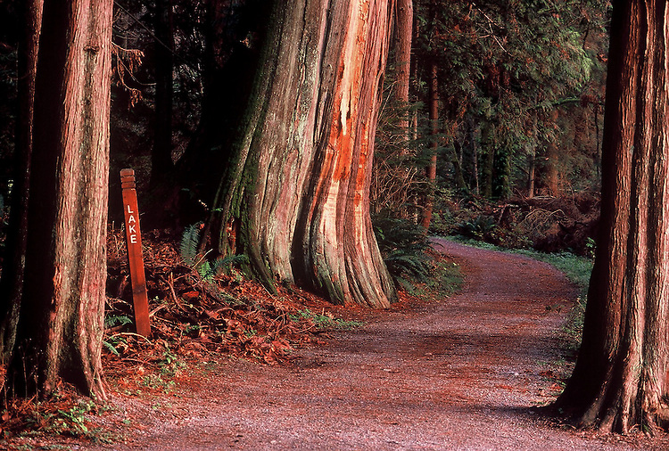 Western Red Cedar (Thuja plicata) and Lake Trail, late afternoon in Stanley Park, Vancouver, BC.