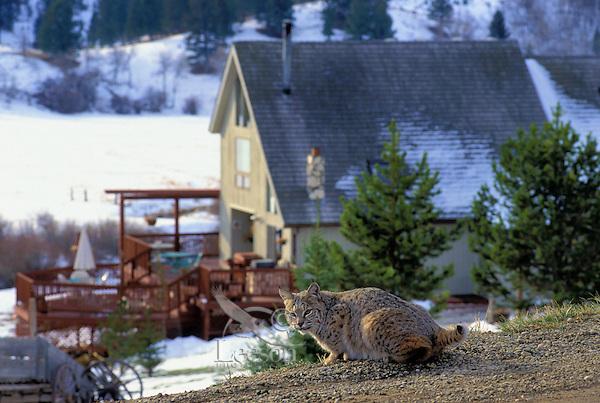 bobcat pauses near house at dawn housing development in wildlife habitat rocky mountains. Black Bedroom Furniture Sets. Home Design Ideas