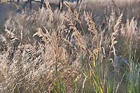 139000001 yellow indian grass sorghastrum nutans on the laurels ranch owned by dave and myrna langford in the hill country of central texas united states