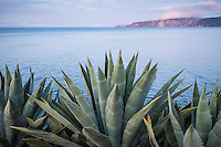 Agave americana overlooking Prisoners Harbor from Pelican Bay, Santa Cruz Island, Channel Islands National Park, California
